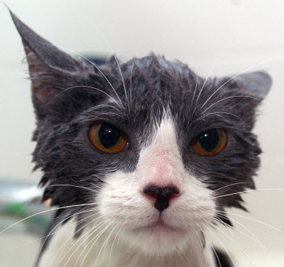 An angry wet cat